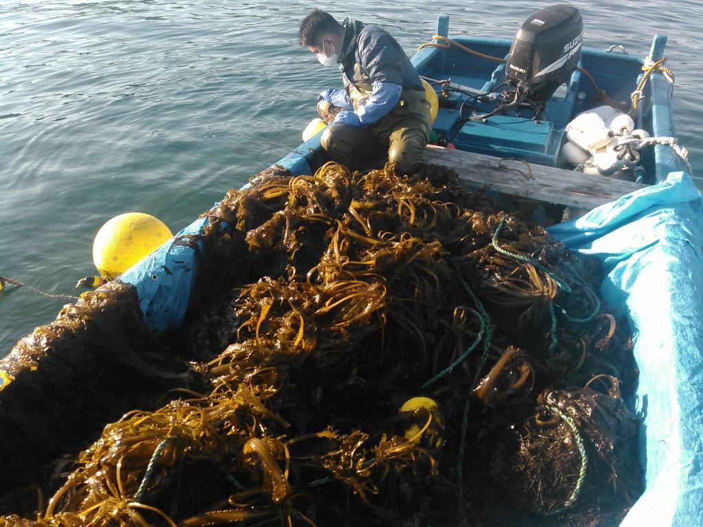 館山ダイビングサービスSARA2017ワカメ収穫体験