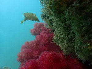 本日は新しいポイントのサンセットビーチ【夕日桟橋】を潜ってきました。 体験ダイビングなら沖ノ島ダイビングサービスマリンスノー