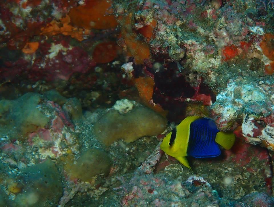 真っ青サオな海とソメワケヤッコ